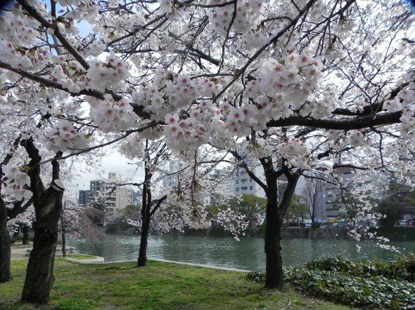 I cigliegi a Hiroshima