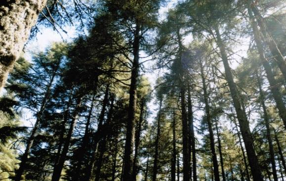 La foresta di cedri attorno a Ifrane