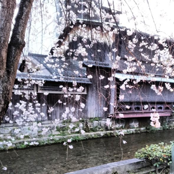 A Shinbashi, salici e ciliegi. Per me è la via più bella di Kyoto